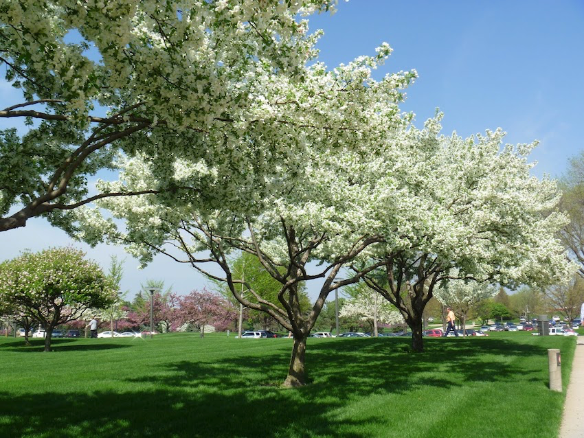 Youngstown Tree Service Cherry Trees